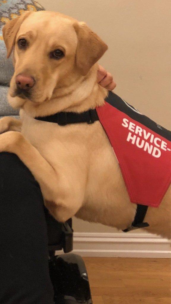 En hvit labrador servicehund med dekke (Foto: Hundeskolen Veiviseren AS)