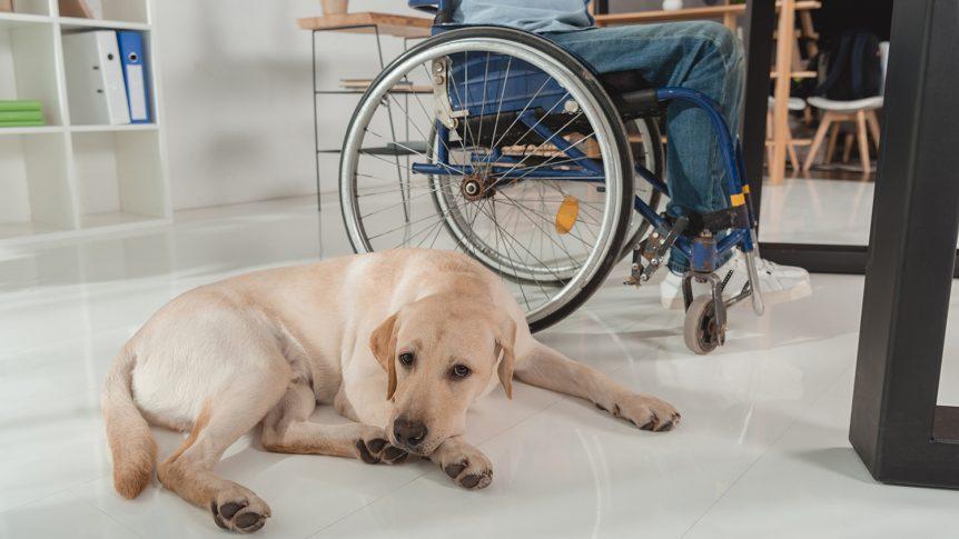 En hvit labrador som ligger på golvet ved siden av eieren som sitter i rullestol ved arbeidspulten sin